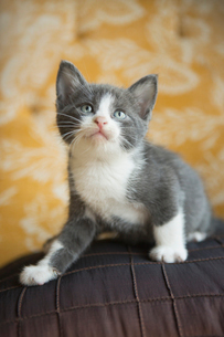 A grey and white kitten looking upwards.の写真素材 [FYI02257912]
