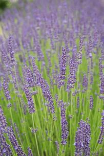 Close up of lavender plant flowering.の写真素材 [FYI02257914]