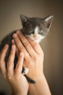 A small grey and white kitten being held in a person's hands.の写真素材 [FYI02257915]