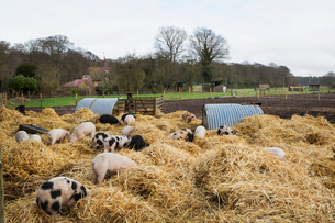 Gloucester Old Spot pigs in an open outdoors penwith fresh straw and metal pig arks, shelters.の写真素材 [FYI02257932]