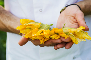 Close up of person holding bright yellow edible courgette flowers.の写真素材 [FYI02258075]