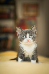 A small grey and white kitten looking around alert and curious.の写真素材 [FYI02258116]