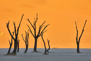 Bare trees in front of a sand dune.の写真素材 [FYI02258191]