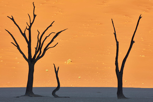 Bare trees in front of a sand dune.の写真素材 [FYI02258215]