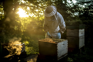 Beekeeper wearing a beekeeping suit with mesh face mask, inspecting an open beehive. Preparing to coの写真素材 [FYI02258324]