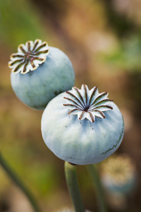 Close up of poppy seed pods in a garden.の写真素材 [FYI02258344]