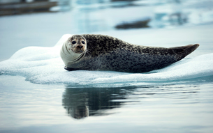 Grey seal (Halichoerus grypus) lying on an ice floe in Arctic waters.の写真素材 [FYI02258414]