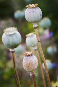 Close up of poppy seed pods in a garden.の写真素材 [FYI02258503]