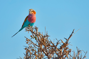 A colourful bird, a Lilac-breasted roller, Coracias caudatus perched on a thorny bush.の写真素材 [FYI02258511]