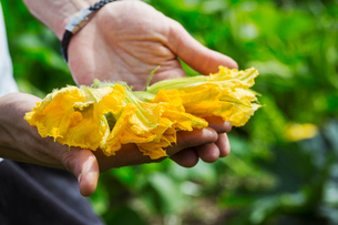 Close up of person holding bright yellow edible courgette flowers.の写真素材 [FYI02258536]