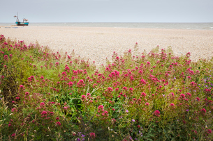 Red Valerian plants growing on a beach, fishing boat in the distance.の写真素材 [FYI02258552]