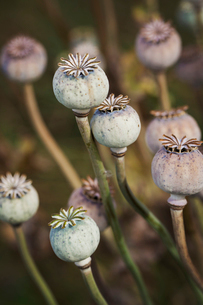 Close up of poppy seed pods in a garden.の写真素材 [FYI02258599]