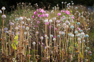Flowerbed with poppy seed pods and pink flowers.の写真素材 [FYI02258652]