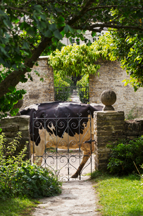 Branch of tree hanging over a wrought iron gate in a garden, black  and white cow walking past.の写真素材 [FYI02258716]