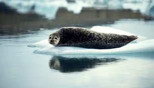Grey seal (Halichoerus grypus) lying on an ice floe in Arctic waters.の写真素材 [FYI02258720]