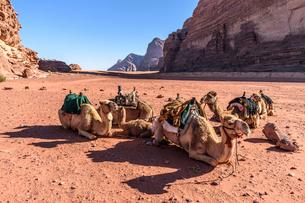 Group of camels resting in the Wadi Rum desert wilderness in southern Jordan.の写真素材 [FYI02258785]