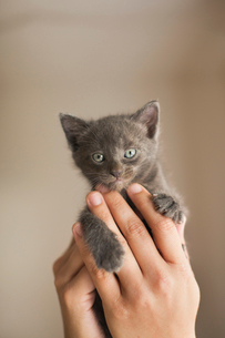 A small grey kitten being held in a person's hands.の写真素材 [FYI02258798]