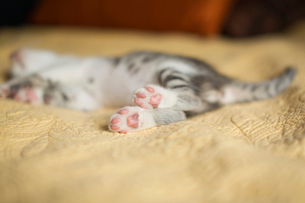 A small grey and white kitten lying on a bed.の写真素材 [FYI02258973]