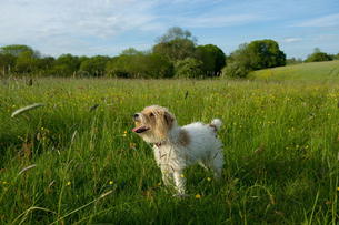 Small white fluffy dog standing on a meadow.の写真素材 [FYI02259039]