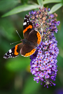Close up of Admiral butterfly sitting on a purple lilac flower.の写真素材 [FYI02259043]