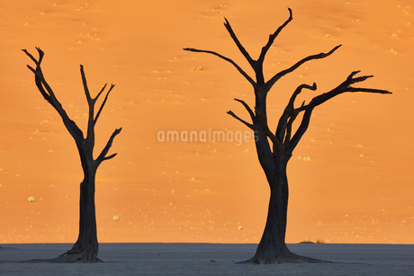 Bare trees standing in front of sand dune.の写真素材 [FYI02259204]