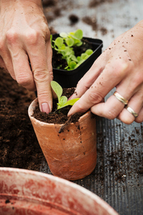 Close up high angle view of person planting a seedling in a terracotta flower pot.の写真素材 [FYI02259235]