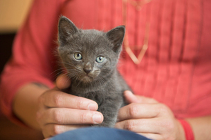 A small grey kitten sitting, held on a woman's lap.の写真素材 [FYI02259251]
