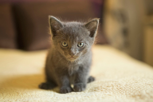 A small grey kitten looking alert and curious.の写真素材 [FYI02259301]