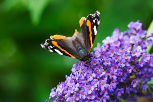 Close up of Admiral butterfly collecting nectar from a purple lilac flower head.の写真素材 [FYI02259312]