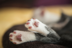 A small grey and white kitten asleep, feet hanging over the edge of the pet bed.の写真素材 [FYI02259352]