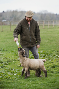 A man bottle feeding a young lamb in a field.の写真素材 [FYI02259481]