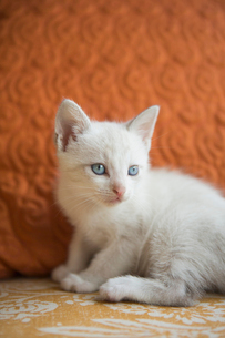 A small white kitten with blue eyes.の写真素材 [FYI02259495]