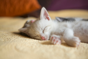 A small grey and white kitten lying asleep on a bed.の写真素材 [FYI02259573]
