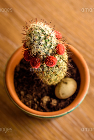 High angle close up of cactus in a flowerpot on a wooden table.の写真素材 [FYI02259731]