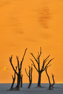 Bare trees in front of a sand dune.の写真素材 [FYI02259756]