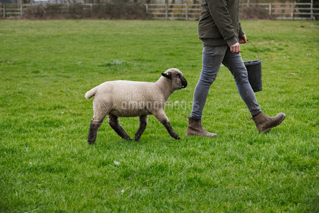 A farmer walking across a field with a bucket of feed, followed closely by a sheep.の写真素材 [FYI02259804]