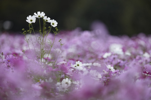 Surface view of field of white and pink Cosmos flowers, one tall white flower spike above the rest.の写真素材 [FYI02259841]