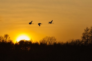 Silhouette of three red-crowned cranes, Grus japonensi, Japanese crane, in flight at sunset.の写真素材 [FYI02259859]
