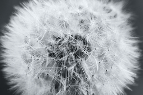 Close up of a Dandelion clock, the ripe seedhead and downy  filamentous achenes on a black backgrounの写真素材 [FYI02259886]