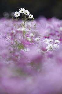 Surface view of field of white and pink Cosmos flowers, one tall white flower spike above the rest.の写真素材 [FYI02259898]