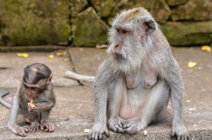An adult Grey long-tailed macaque and a baby animal eating fruit seated on steps.の写真素材 [FYI02259904]