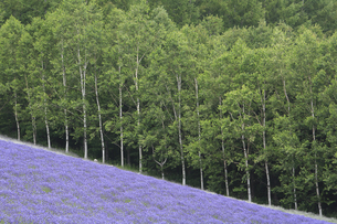 Sloping field of purple flowers with forest of Birch trees in background.の写真素材 [FYI02259918]