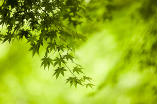 Branches of a Japanese Maple tree with green leaves, outline of the distinctive palmate leaf shape.の写真素材 [FYI02259931]