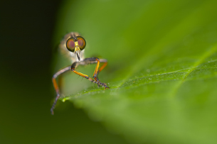 Close up of a flying insect sitting on a green leaf.の写真素材 [FYI02259936]