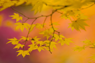 Branches of a Japanese Maple tree with vibrant red leaves, autumn foliage. Palmate leaf shape.の写真素材 [FYI02259950]