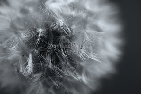 Close up of a Dandelion clock, the ripe seedhead and downy  filamentous achenes on a black backgrounの写真素材 [FYI02259967]
