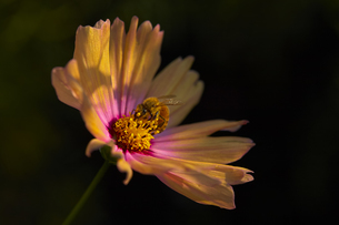 Close up of orange Cosmos flower on black background.の写真素材 [FYI02259983]