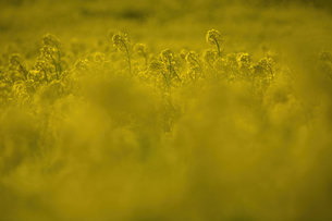View across a field with bright yellow Rapeseed, Brassica napus.の写真素材 [FYI02260023]