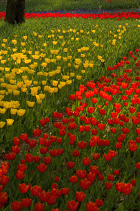 Close up of carpet of bright yellow and red tulips.の写真素材 [FYI02260026]