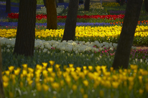 Carpet of tulips in a variation of bright colours growing in between trees.の写真素材 [FYI02260031]